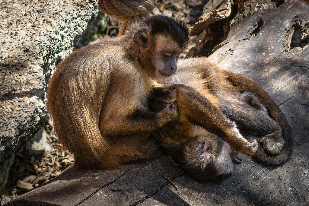 social-grooming-apes