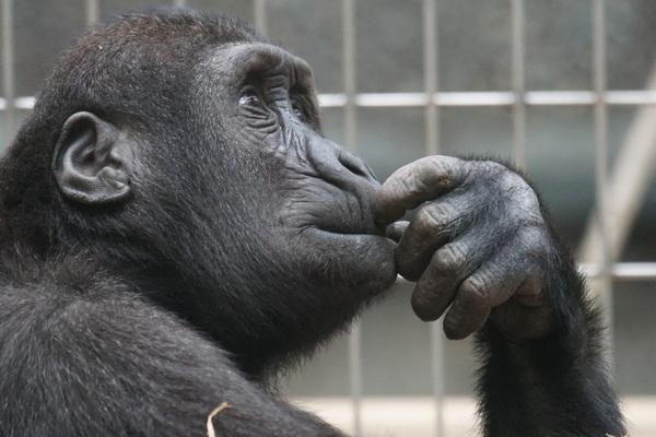 ape-thinking